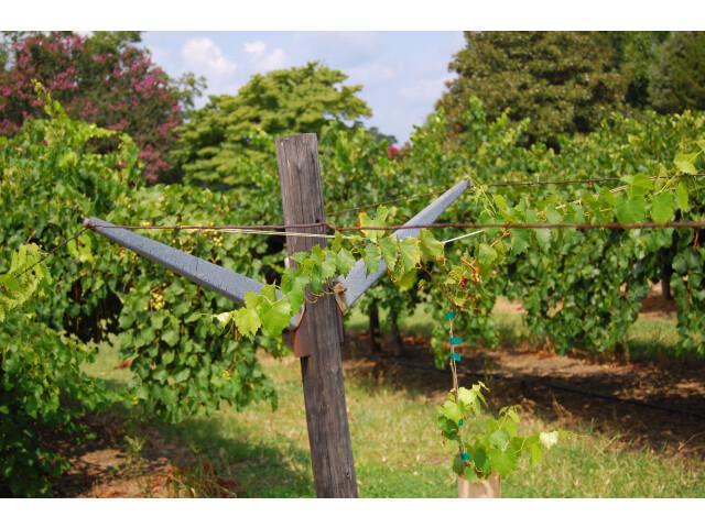 Pine Level Wineyard image