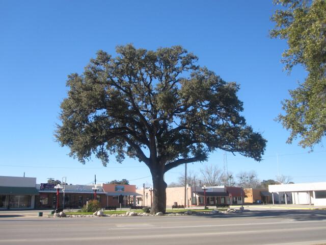 Oak tree in Pleasanton  TX IMG 2618 image