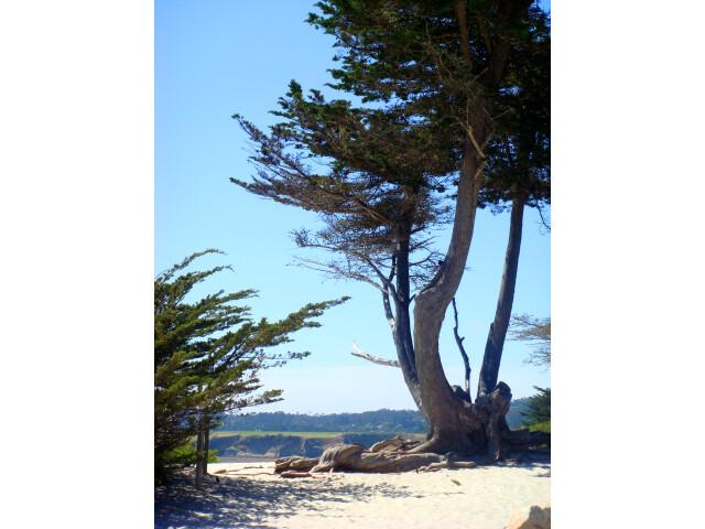 Carmel Monterey Cypress image