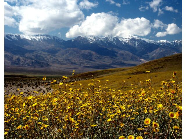 Death Valley Gerea canescens image