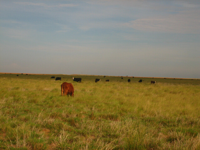 Cattle grazing between Denver City and Morton  TX Picture 1900 image